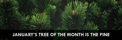January's Tree of the Month: Pine banner