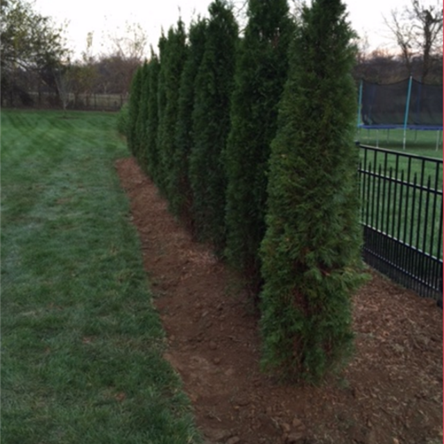 Freshly cut green lawn with evergreen trees lining fence