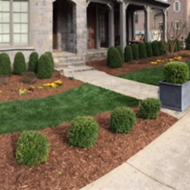 Grass and mulch with shaped bushes and flowers in front of house.