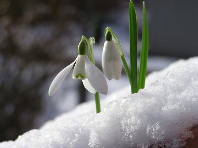 Flowers growing through snow