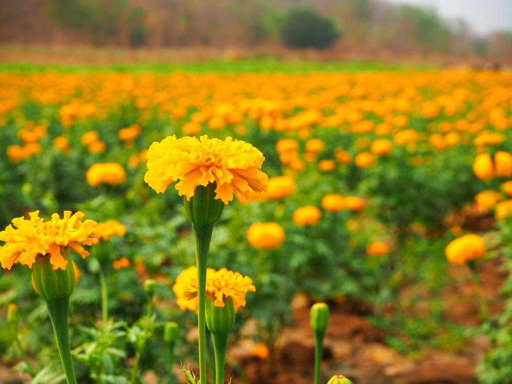 Marigold flower in a  field